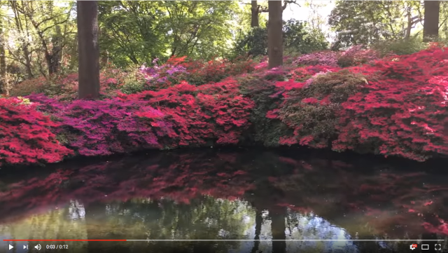 Image of a woodland pond with pink azaleas reflecting in the water